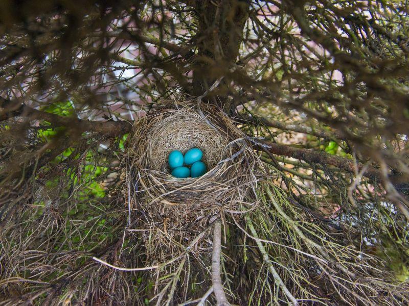 Na zdjęciu ptasie gniazdo z widocznymi jajami ptasimi w kolorze niebieskim. Gniazdo ukryte w koronie drzewa
