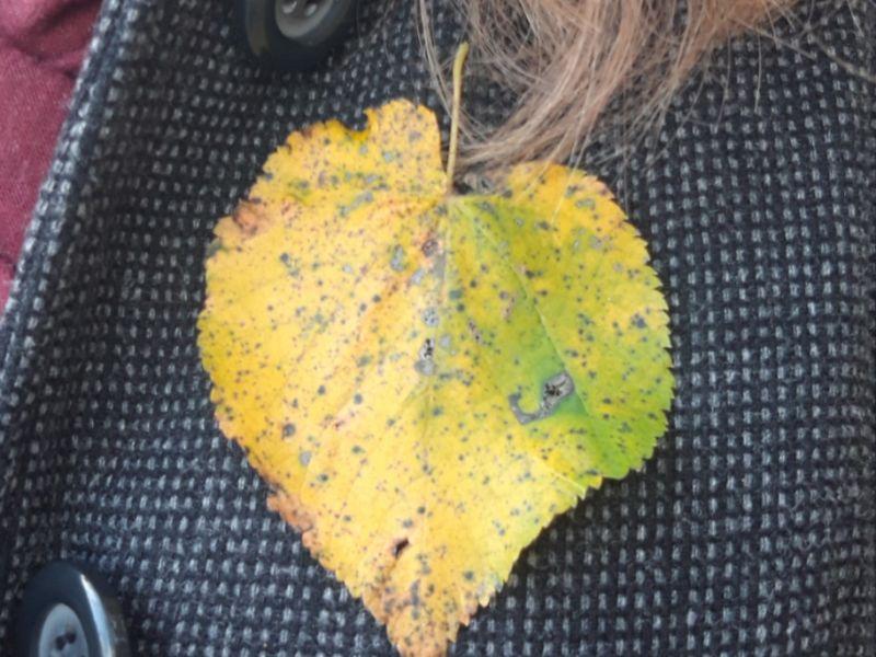 Na zdjęciu jesienny liść przypięty do klapy damskiego płaszcza